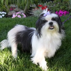 Adopt Giselle On Adoptable Dogs Mostly Havanese Shih Tzu Dog