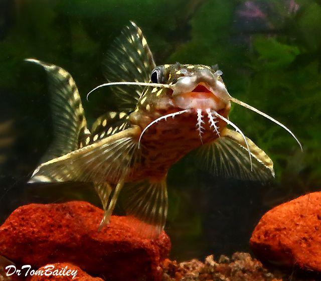 Aquariumfish Net Aquarium Fish Aquarium Catfish Goldfish For Sale