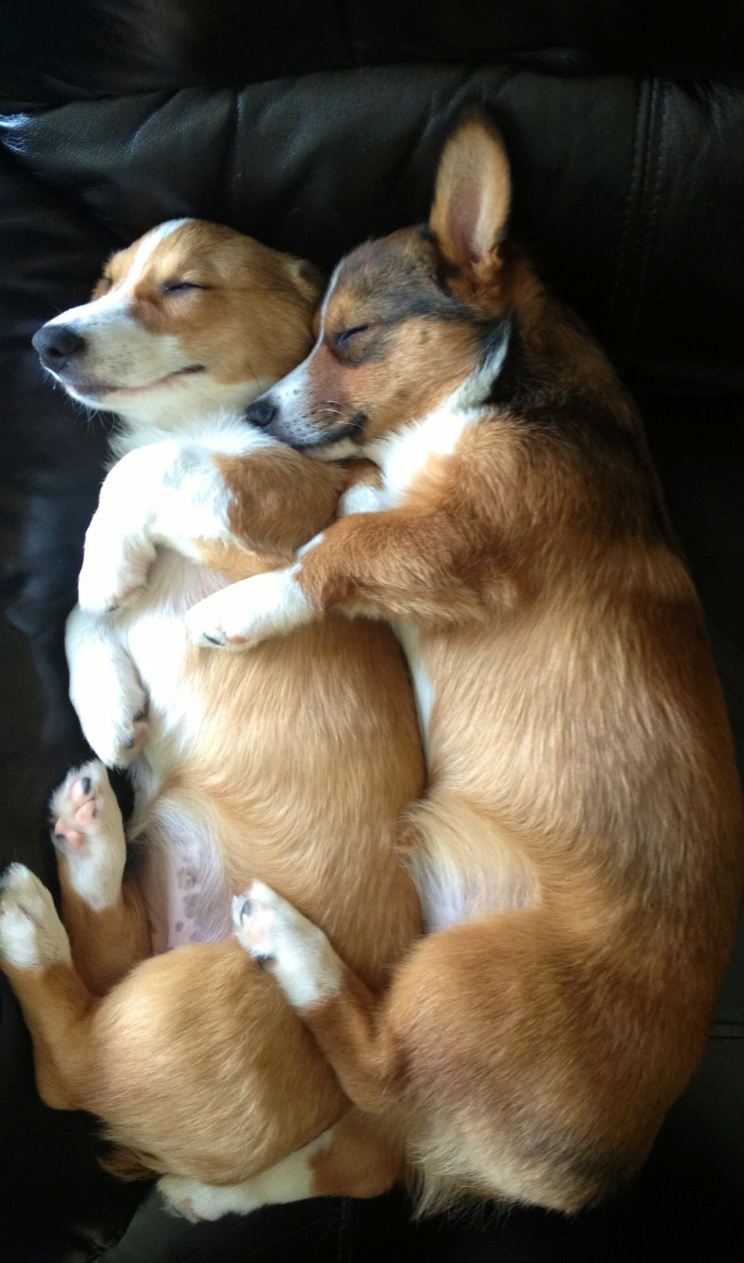 Spooning Corgi s they are just to sweet a real pair of cuties indeed They are just to cutie