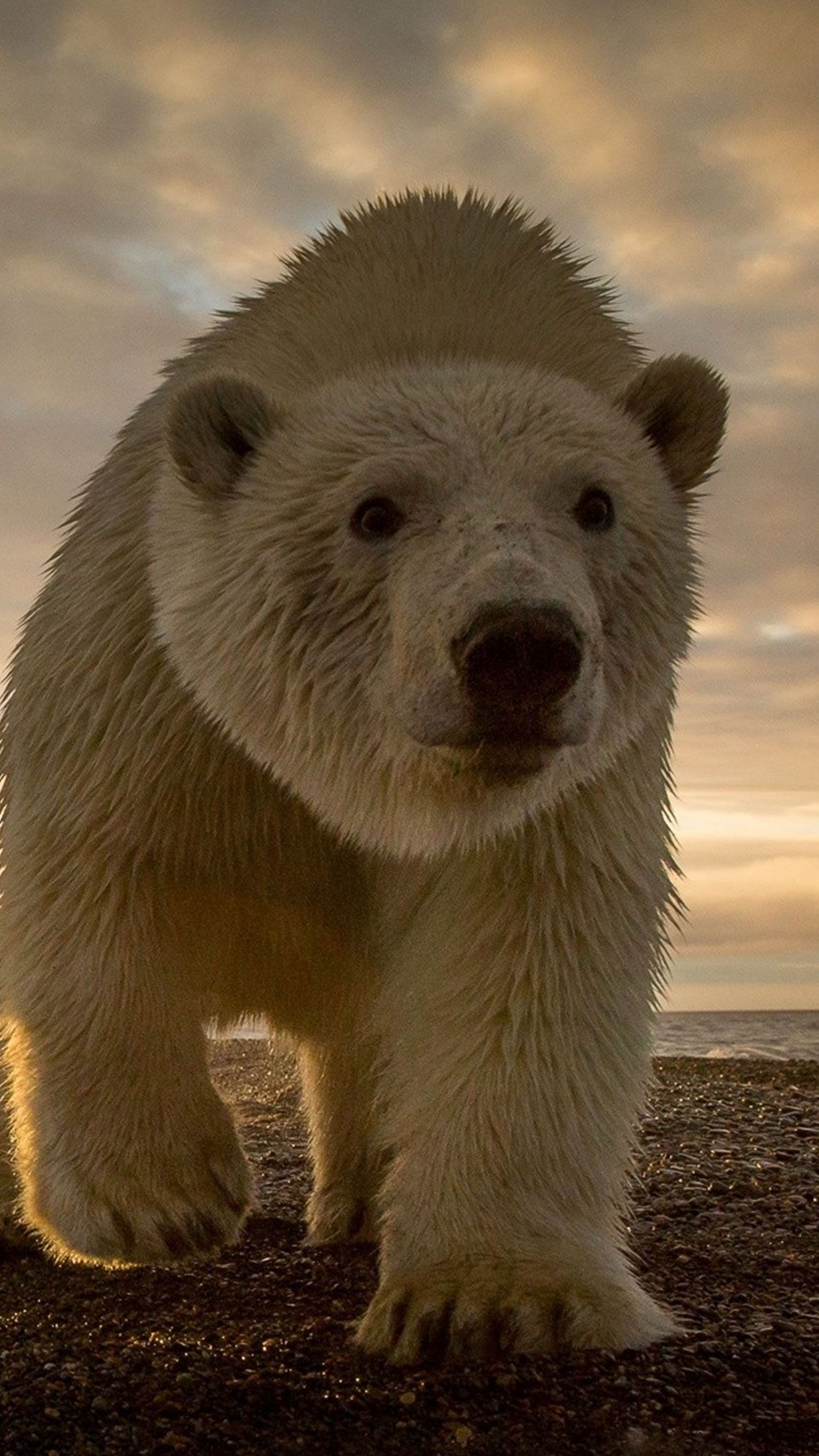 White Polar Bear Animal Wallpaper For Iphone And Android Bear