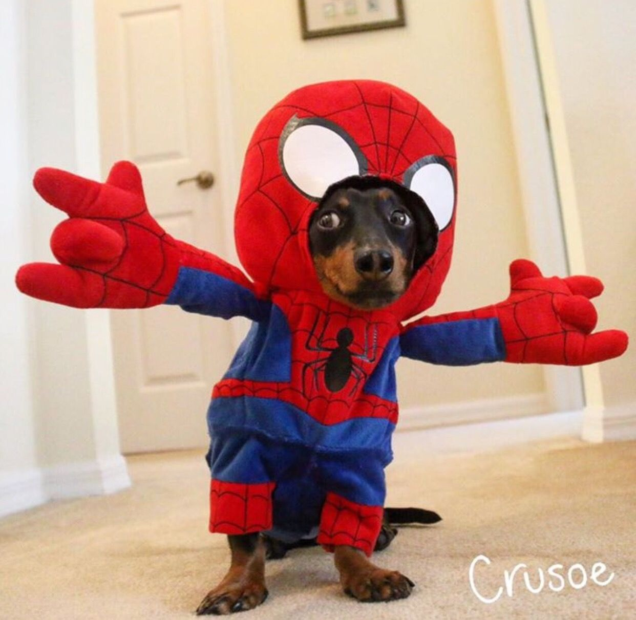 Dog Wearing Spider Man Costume Pet Costumes Crusoe The