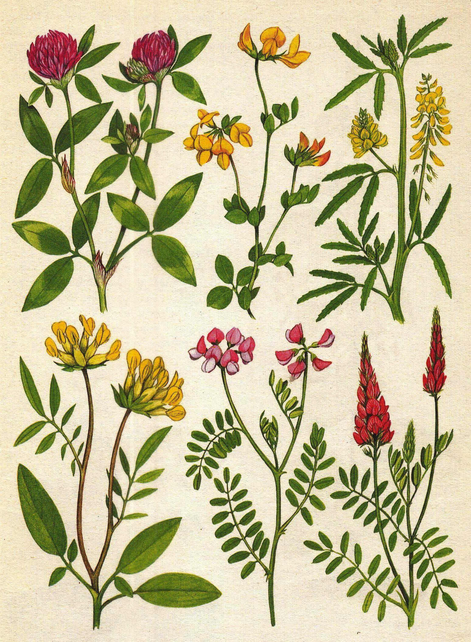 Schmetterlingsblütler.........   Pflanzen u.Früchte von R.Sch ...