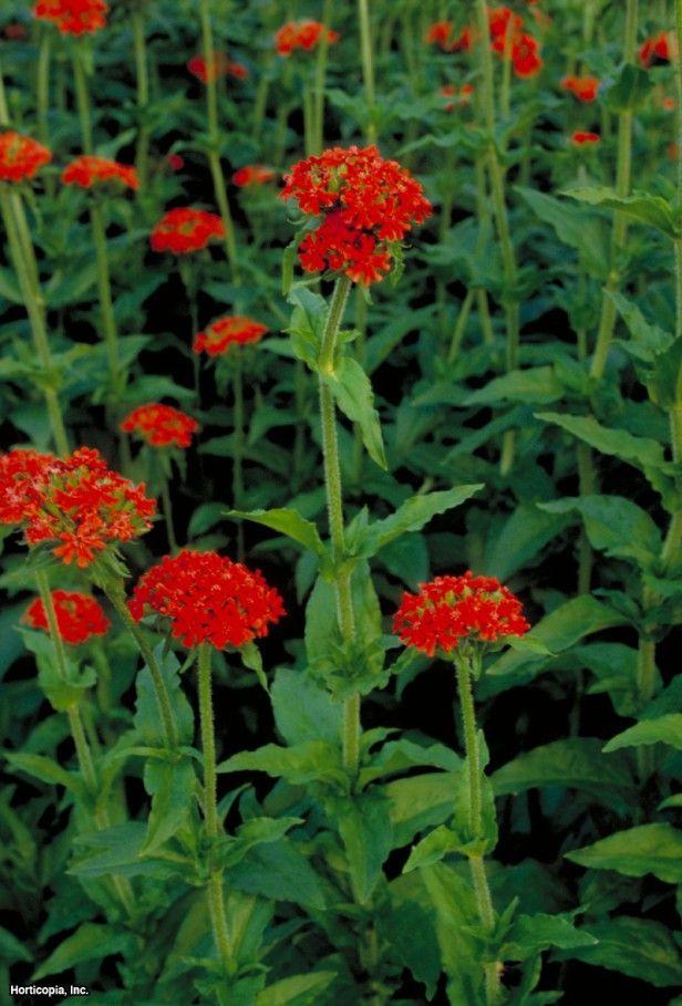 Maltese Cross Heirloom seeds, Plants, Planting seeds