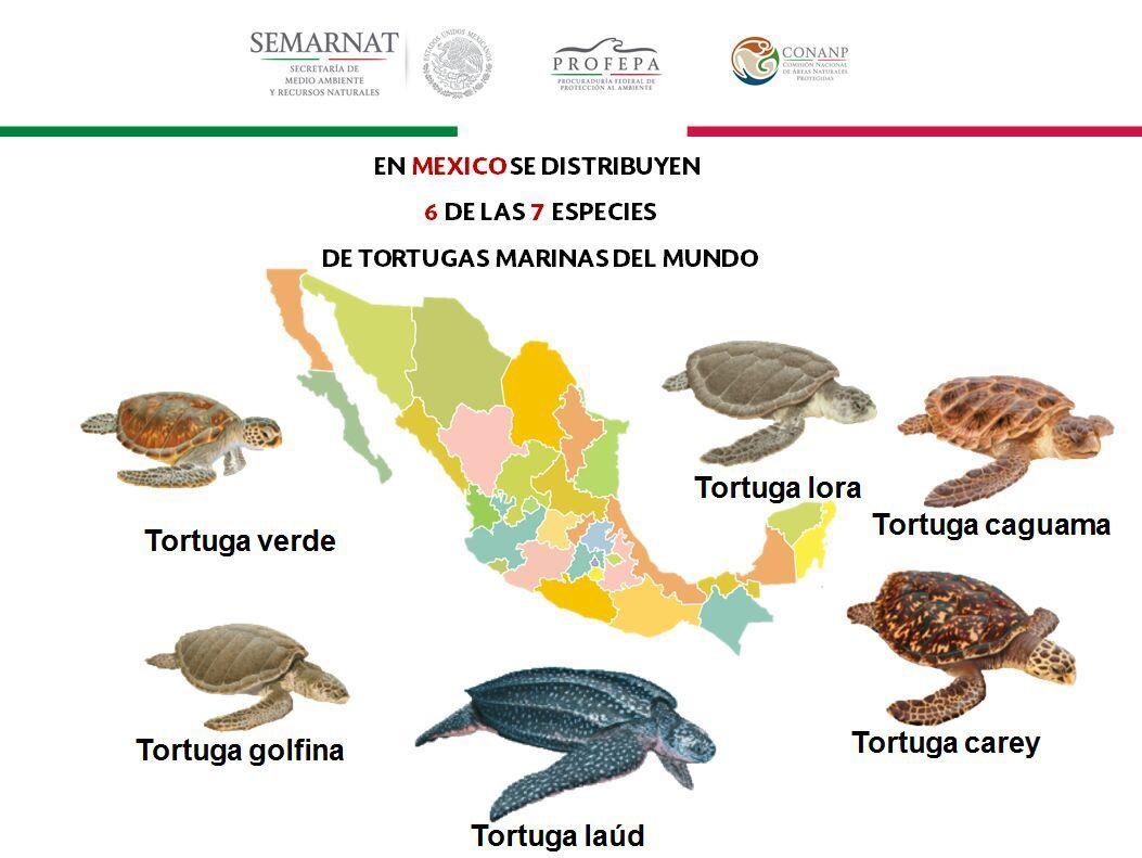 Resultado de imagen para tortuga marina infografia