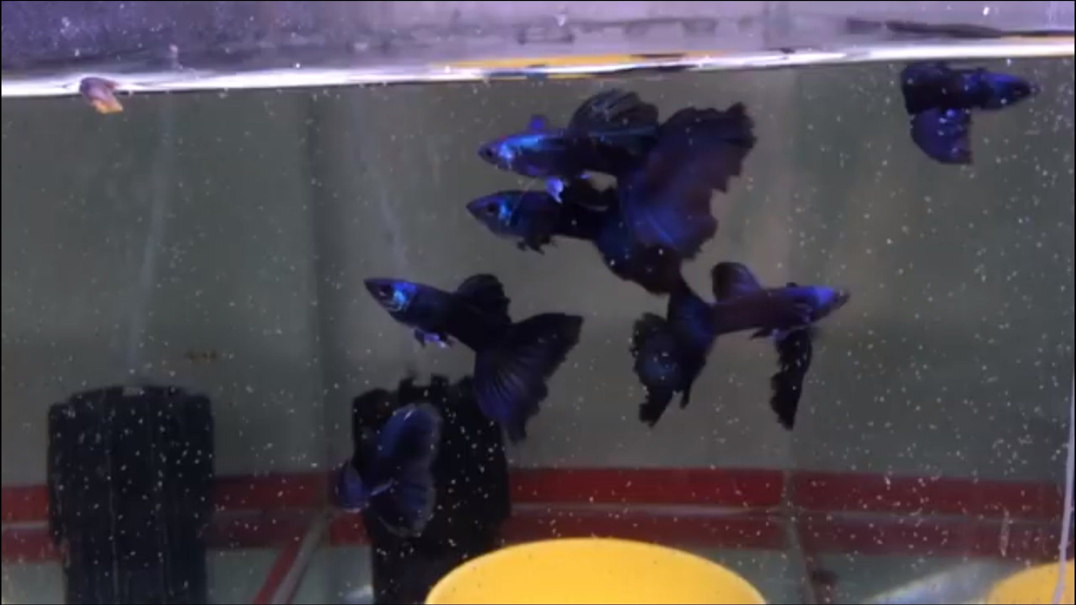 MAGIC BLUE THUNDERBOLT GUPPIES FROM THAILAND VERY BEAUTIFUL BUT