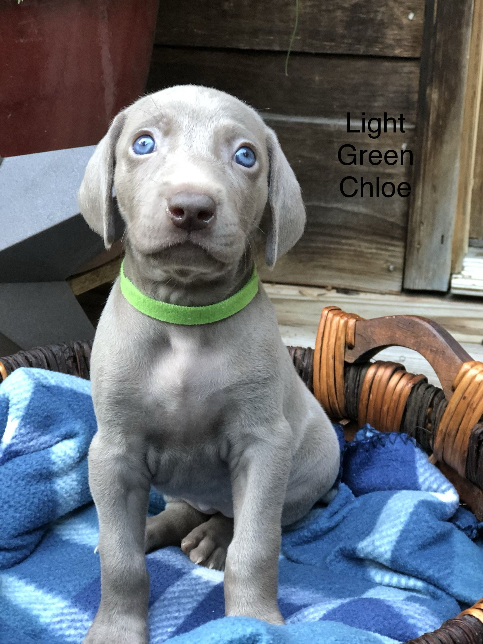 Pin By Puppies4u On Puppies For Sale Dog Breeder Weimaraner