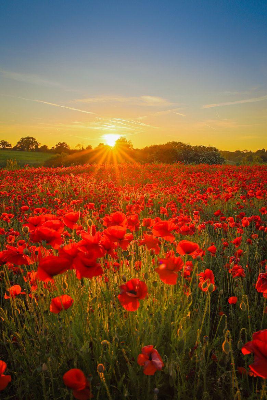 Photo Poppy Sunset By Matty Graham On 500px S Izobrazheniyami