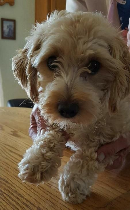 Adopt Josie On Petfinder Poodle Mix Dogs Cute Dogs And Puppies Dog Adoption