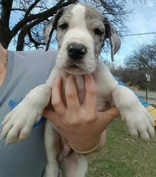 Great Dane Puppy For Sale In Springtown Tx Adn 25037 On