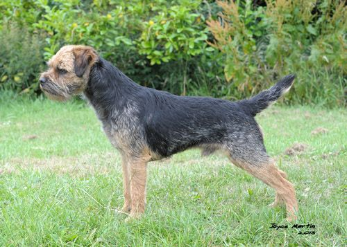 Badgerholme Epsom Jet Jw Border Terrier
