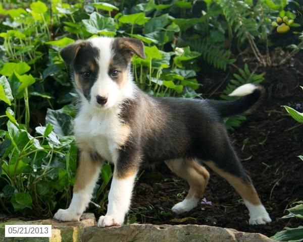 Anna Border Collie Puppy For Sale In Ickesburg Pa Border