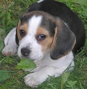 Shiloh The Dog Bing Images Baby Beagle Cute Puppies Puppies