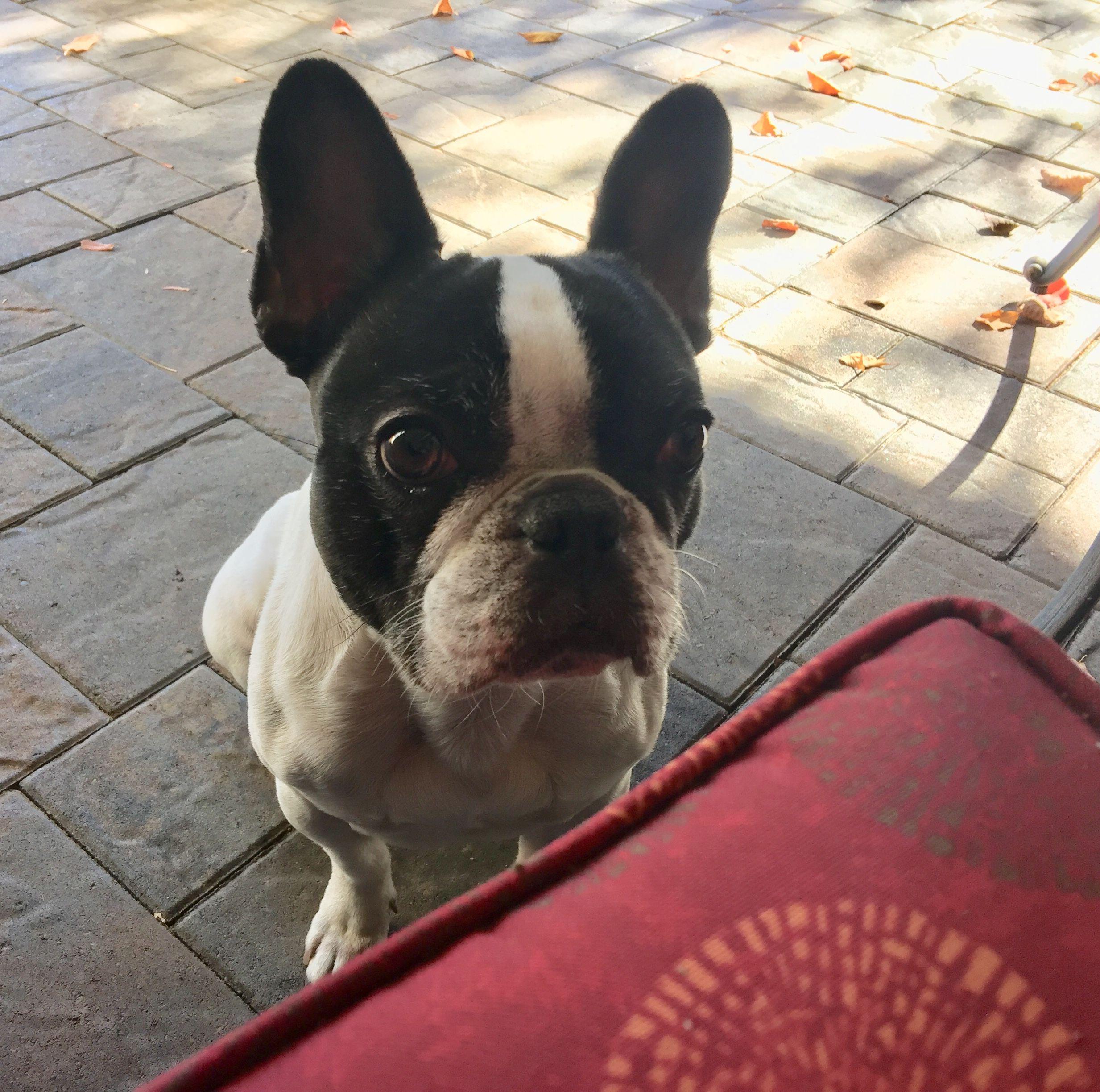 french bulldog puppy food pets at home