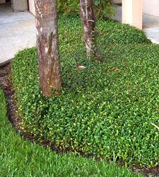 Small Leaf Confederate Jasmine Ground Cover