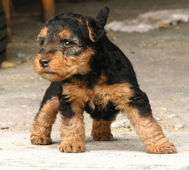 Welsh Terrier Puppies Pictures Airedale Terrier Puppies Dog