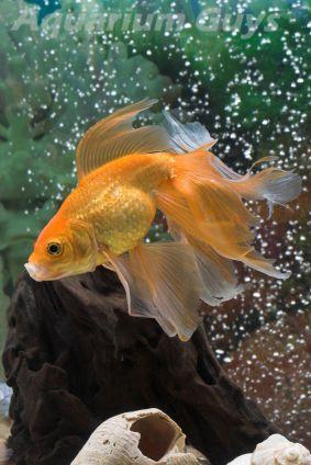 Pet Fish For Sale Tropical And Freshwater Fish Petsmart Veiltail Goldfish Pet Fish Goldfish