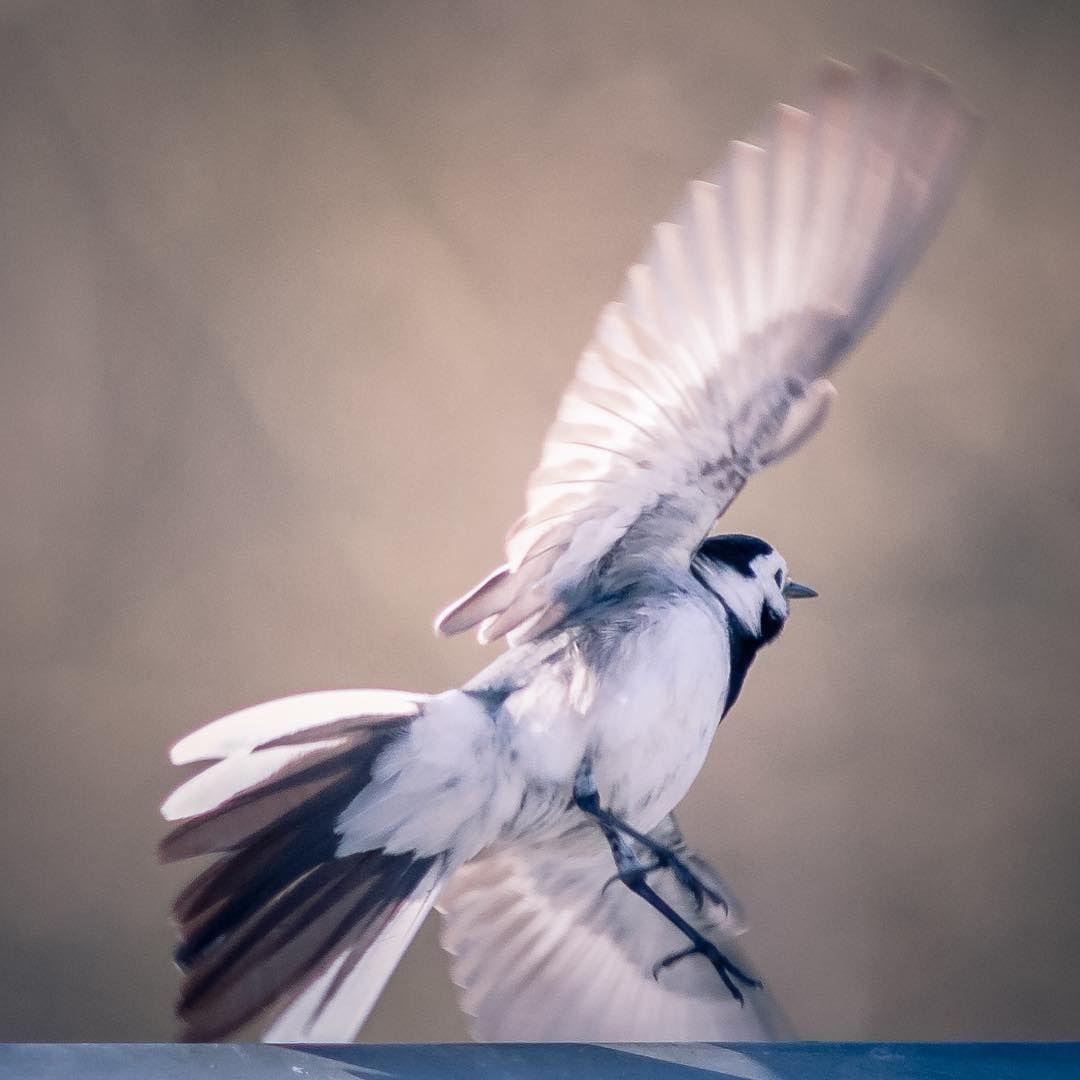 #västäräkki / #wagtail  #eye_spy_birds #eye_spy_flora #eye_spy_nature #pocket_birds #suomi100vuotta #suomenluonto #yleluonto #photography #nakkila #arantilankoski #sunrise #sunset #nikond300 #sigma300mmf28 http://tipsrazzi.com/ipost/1504982692197212528/?code=BTixcjphqFw