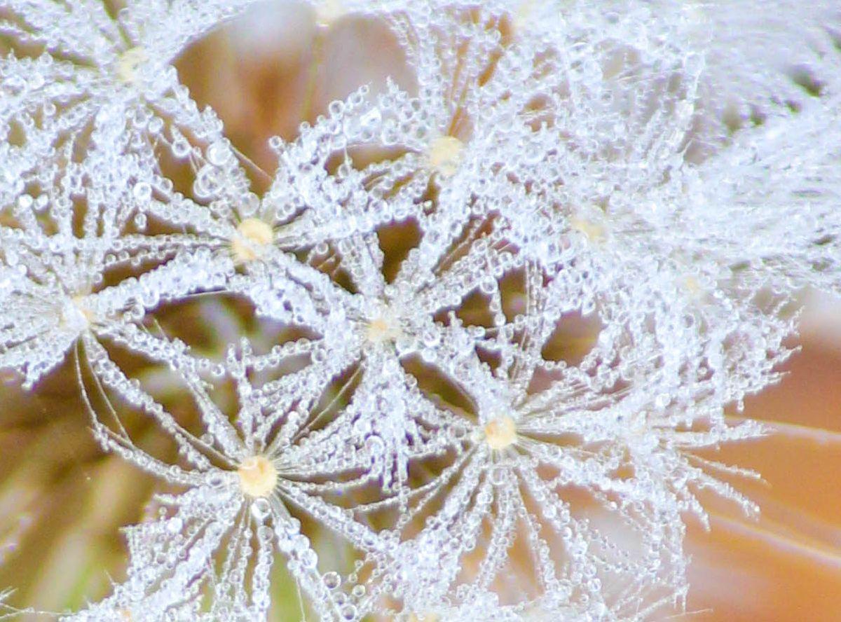 Dew/dandelion puff