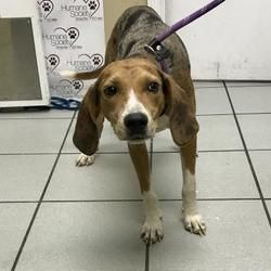 Tampa, Florida Catahoula Leopard Dog. Meet Wendy, a for
