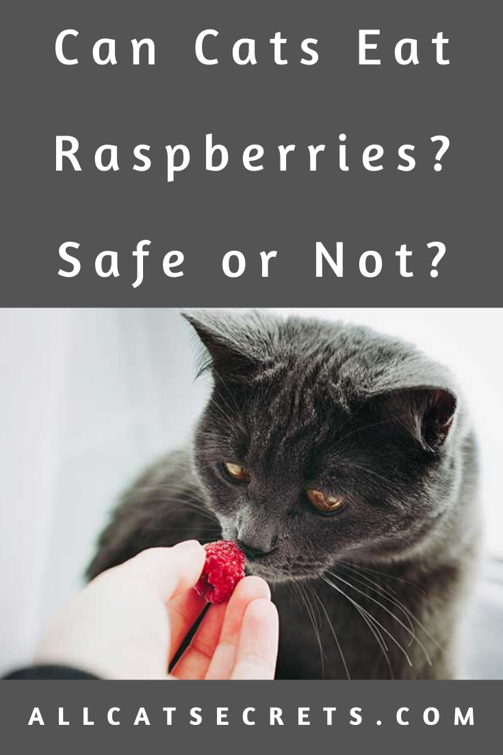 Can Cats Eat Raspberries? Safe or Not? in 2020 Cats