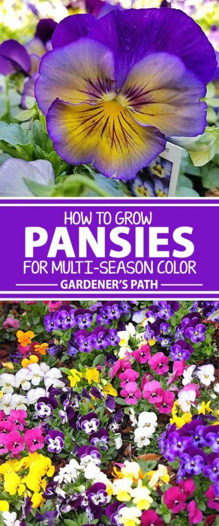 How To Grow Pansies And Violas For Multi Season Color Gardener S Path Winter Pansies Pansies Flowers Fall Garden Vegetables