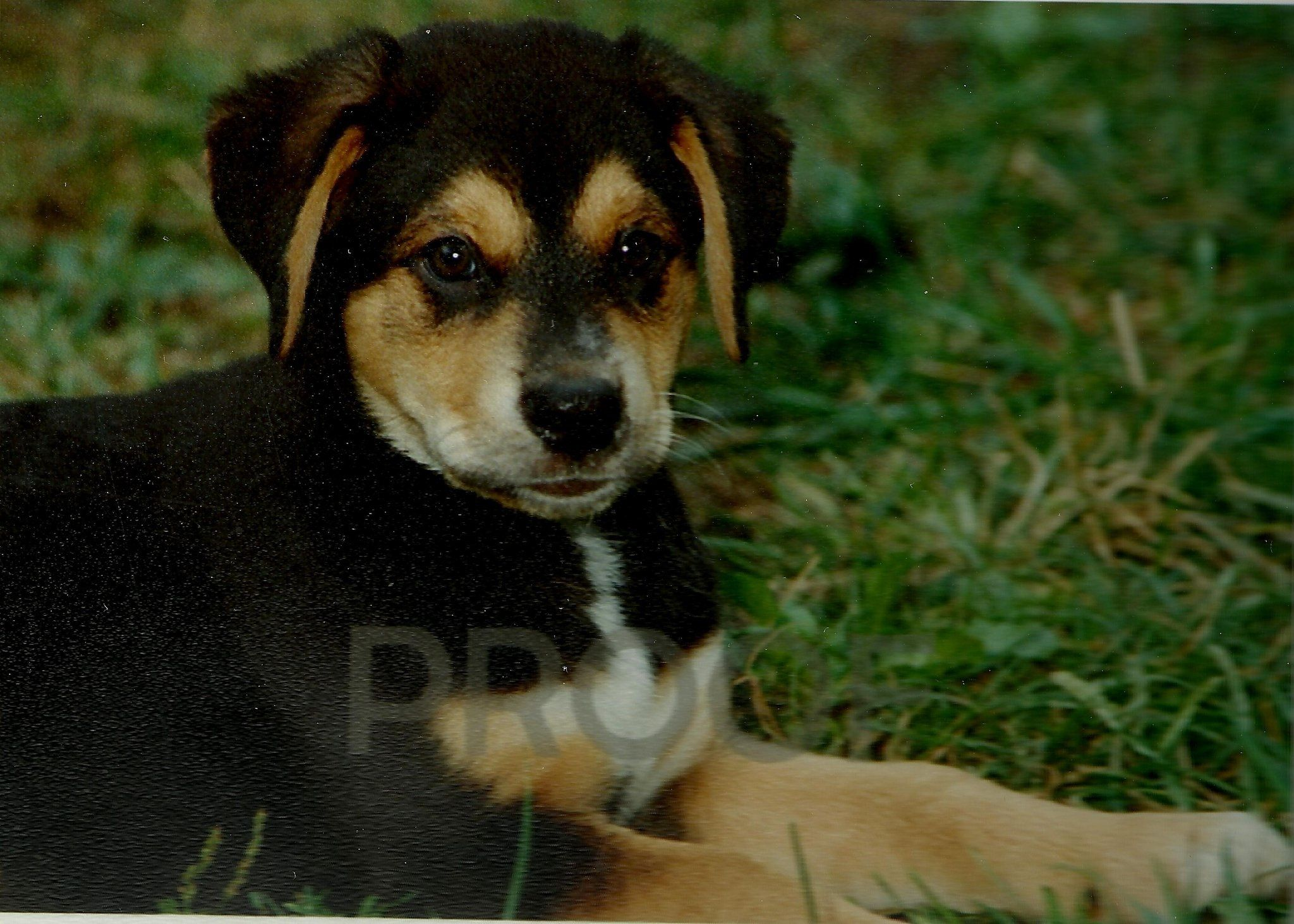 Killer as a puppy. Cute, huh! :)