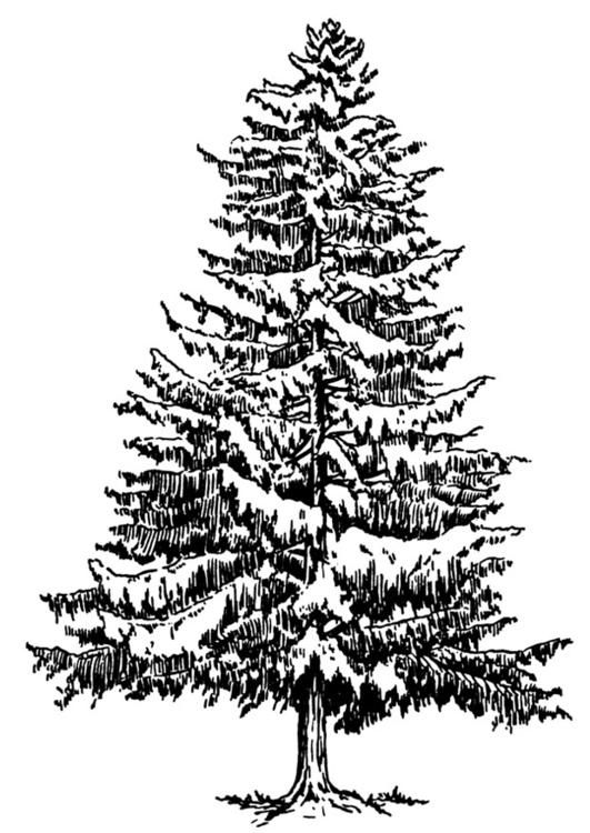Malvorlage Tanne Im Winter Ausmalbild 12918 Kiefer Kunst Pine Tattoo Weihnachtsbaum Schablone