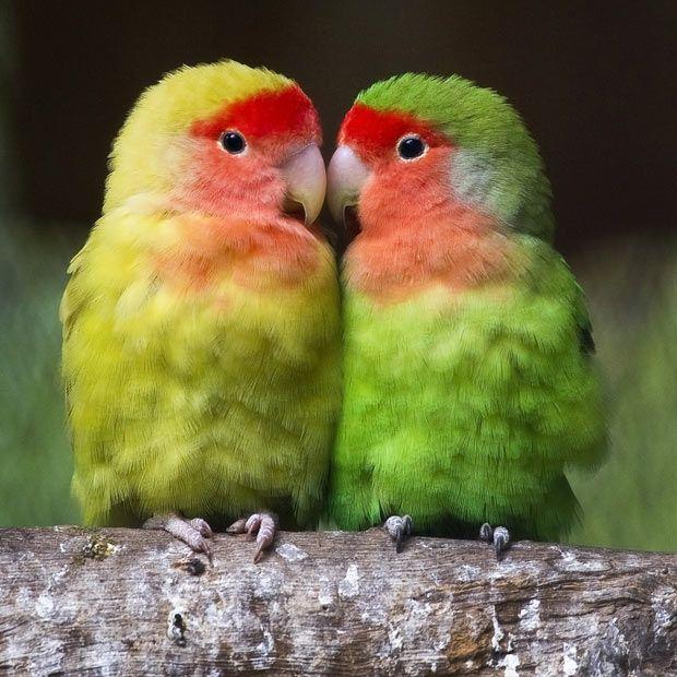 towns lovebirds by glassesgator - photo #8