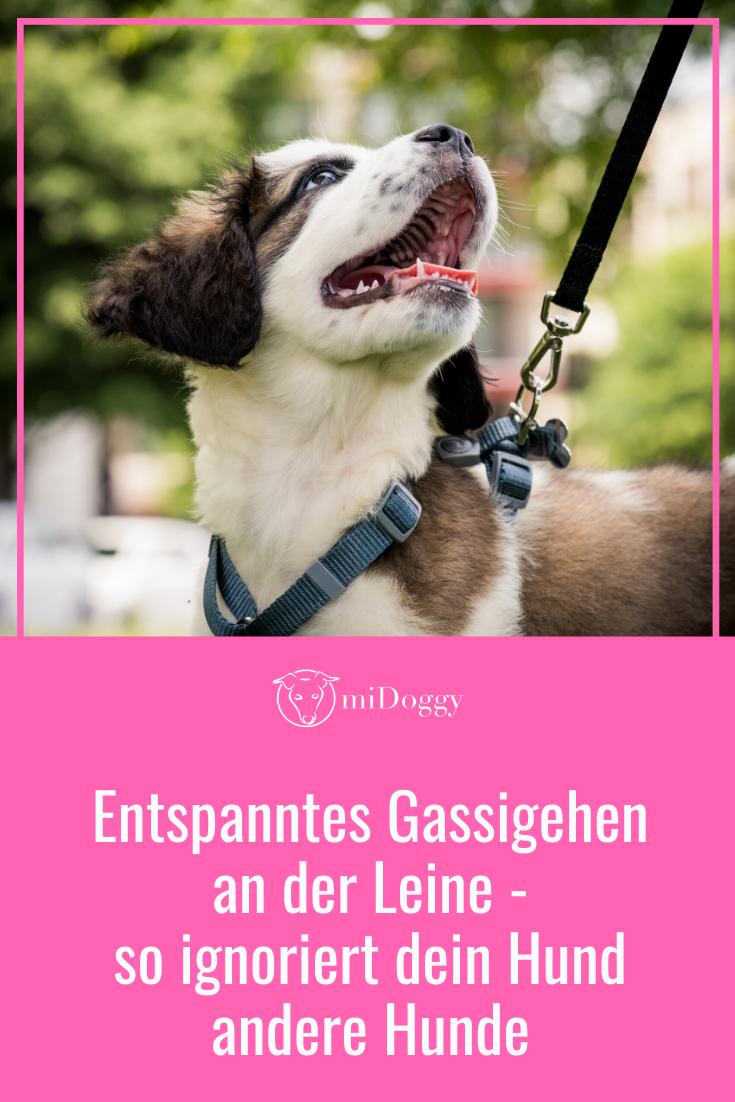 An Der Leine Und Kein Interesse An Anderen Hunden Das Funktioniert Midoggy Community Hunde Hunde Spiele Diensthunde