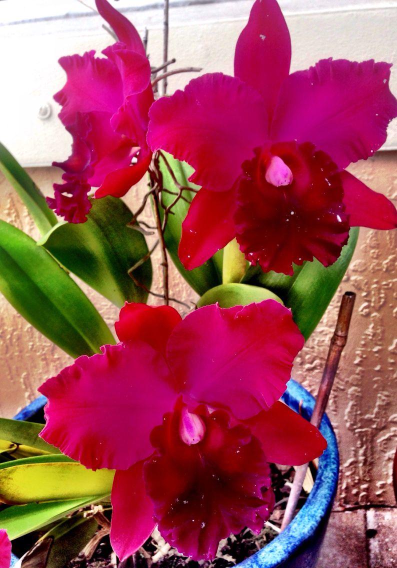 Cattleya Orchid Flores Flowers Pinterest Flores Flor Y Plantas - Flores-bonitas-para-jardin