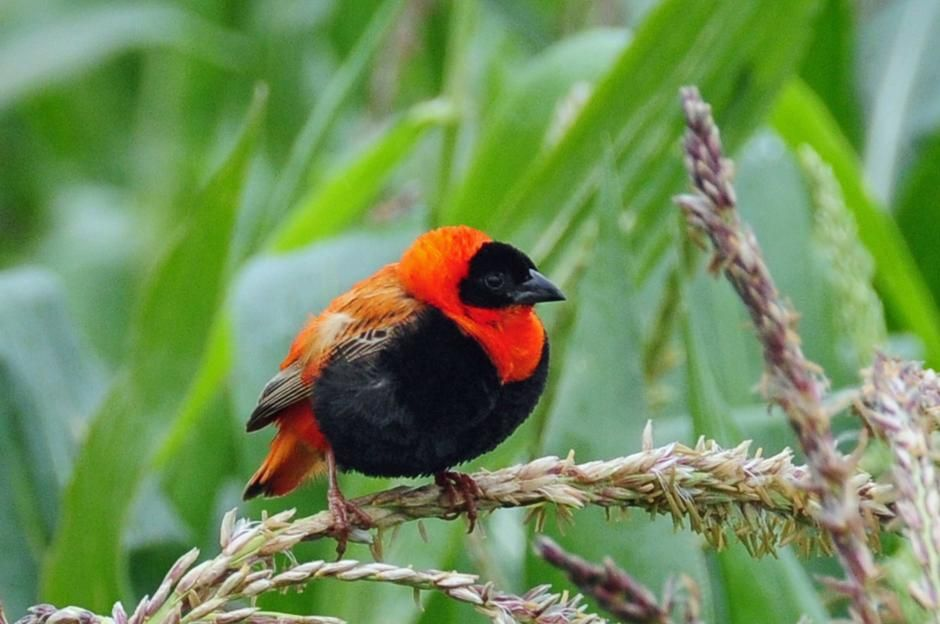 An adult male 'northern red bishop' in maize field