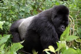 Colombian rainforest gorillas