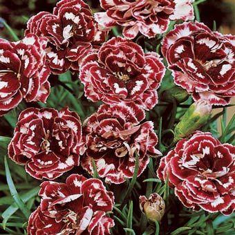 Laced Romeo Carnation Spring Hill Nursery Carnation Plants Carnations