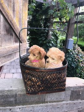 Poodle Toy Puppy For Sale In Modesto Ca Adn 46286 On