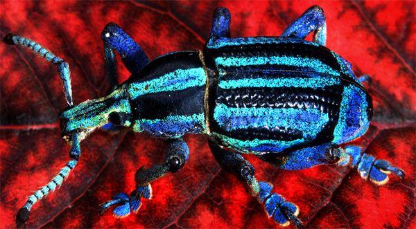 foto-besouro-com-escamas-iridescentes-colorido-do-reino-animal
