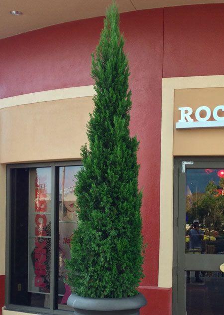 Spartan Juniper Fast Growing Trees Growing Tree Types Of Soil