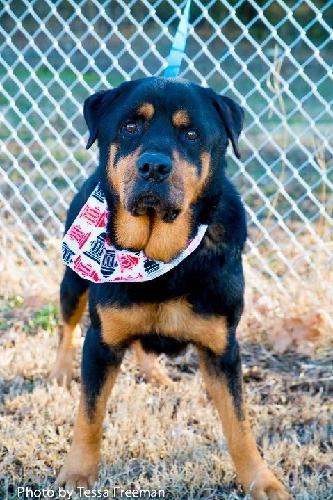 Adopt Dice On Dogs Animals Rottweiler Dog