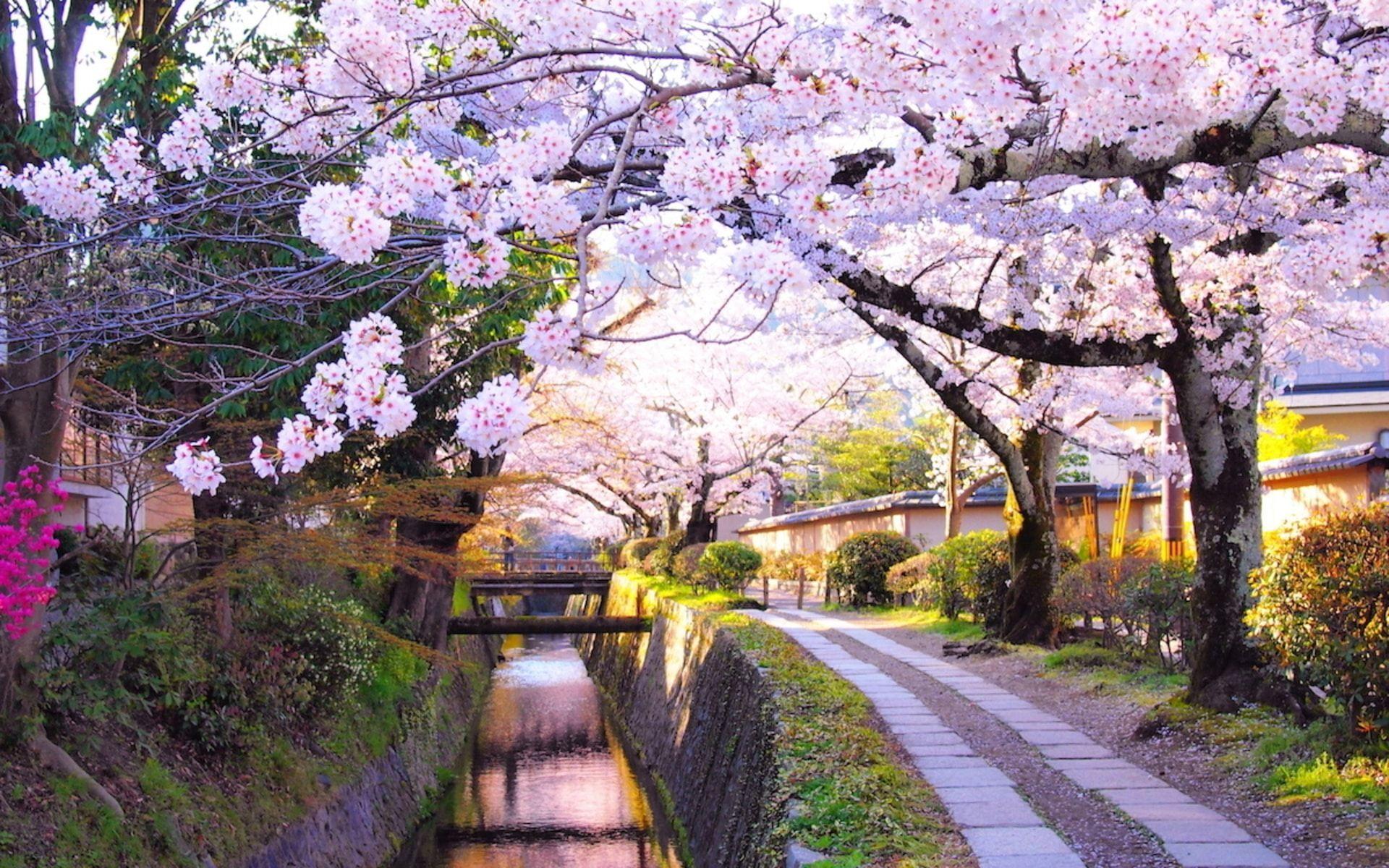 Image Result For Japan Cherry Blossom Japan Countryside Cherry Blossom Japan Kyoto Travel