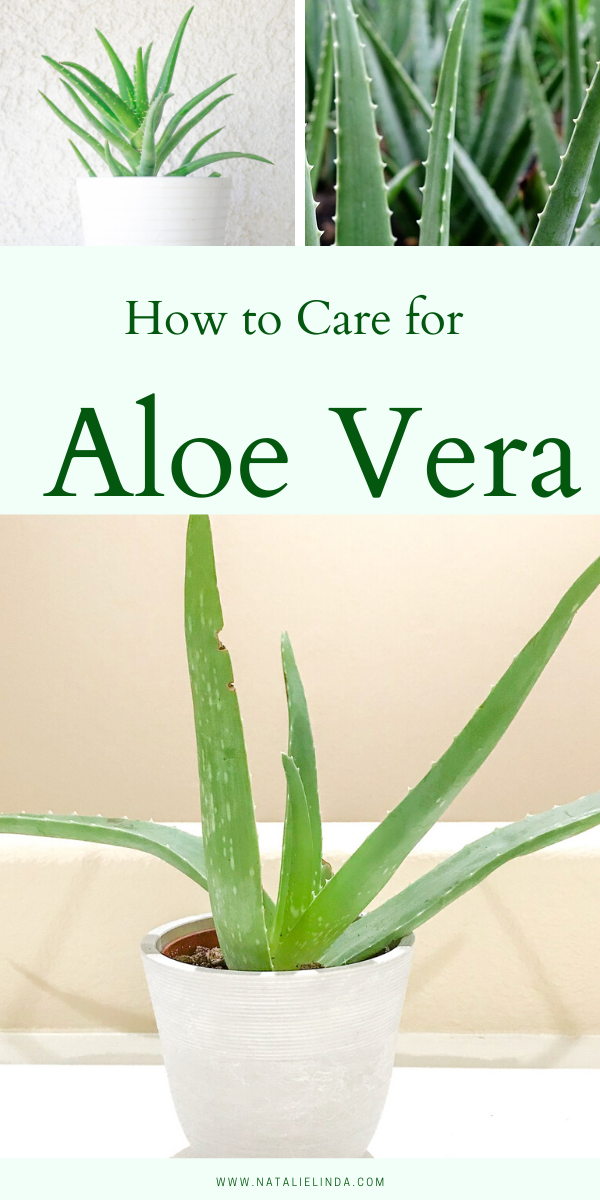 How To Take Care Of Aloe Vera Aloe Vera Plant Care Learn To Grow This Healing Succulent Natalie Linda In 2020 Aloe Vera Plant Aloe Plant Care Aloe Plant