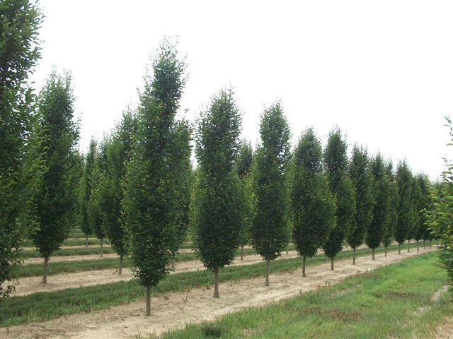 Carpinus Betulus Fastigiata 3 This Fine Tree Is Columnar In Its Youth Becoming Rounded As It S Has A Dense Habit And Very Formal