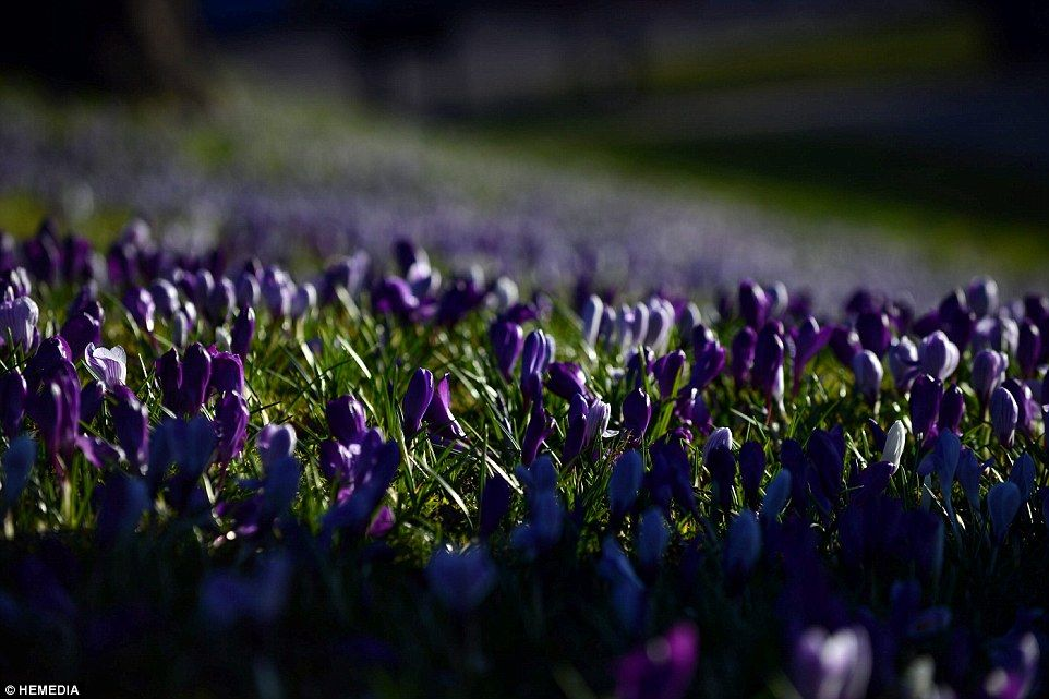 The crocuses blooming in Duthie Park, Aberdeen - the UK has already seen more than 189 hours of sunshine so far this year