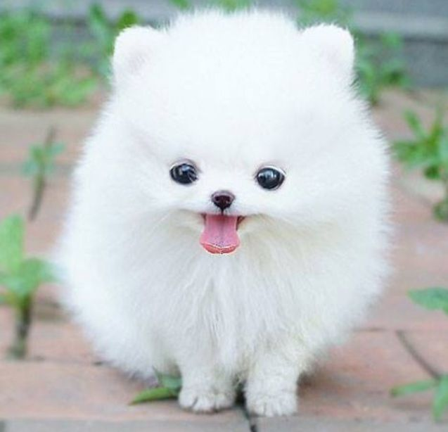 White Small Fluffy Dog That S Not A