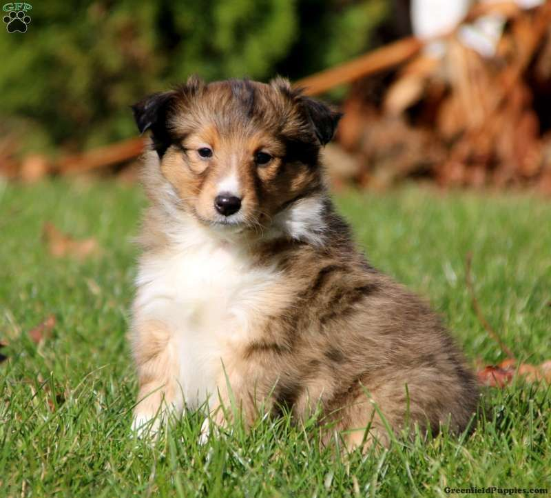 Sheltie Puppies For Sale Shetland Sheepdog Sheep Dog Puppy Sheltie Sheltie Puppies For Sale