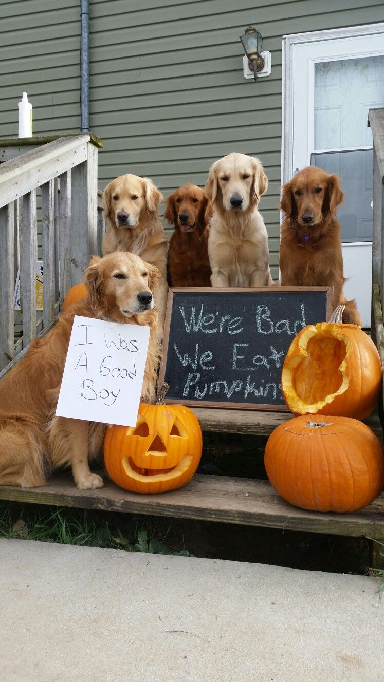Golden Retrievers Being Bad Lol With Images Retriever Puppy