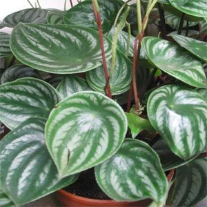 Watermelon peperomia a beautiful house plant that is for Easy to take care of outdoor plants