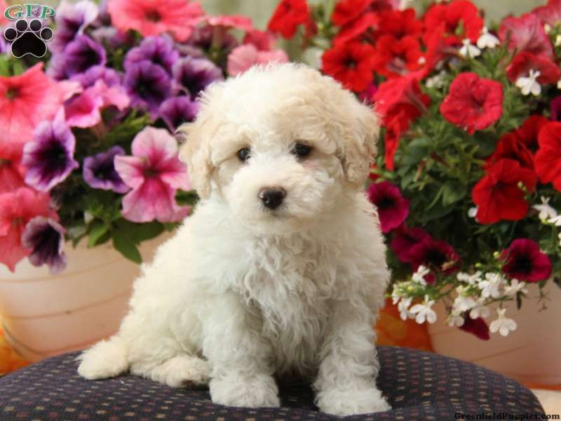 Archie Bich Poo Puppy For Sale In New Holland Pa Puppies For Sale Greenfield Puppies Bichon Poodle Mix