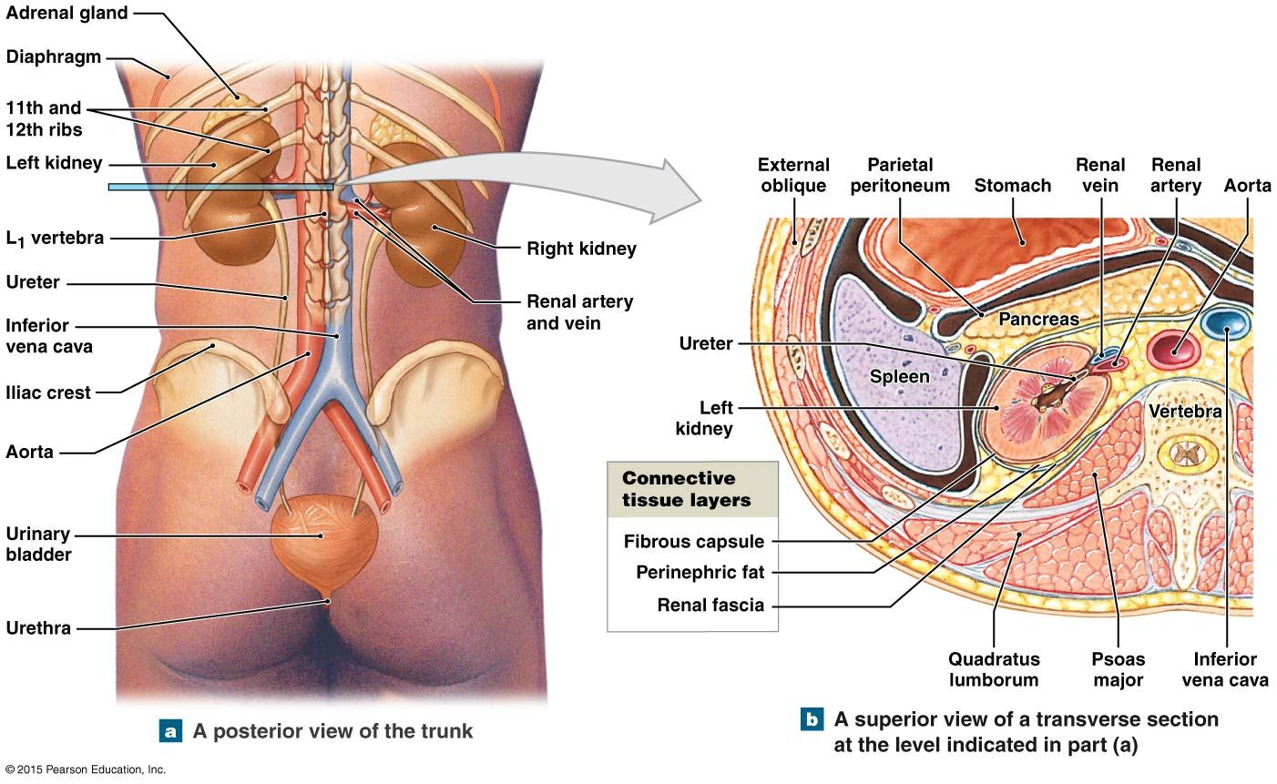 The Position And Associated Structures Of The Kidneys