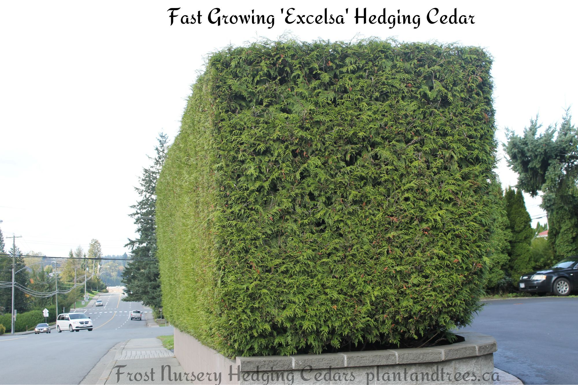 Red Cedar Hedge ~ Ornamental western red cedar excelsa clipped into this
