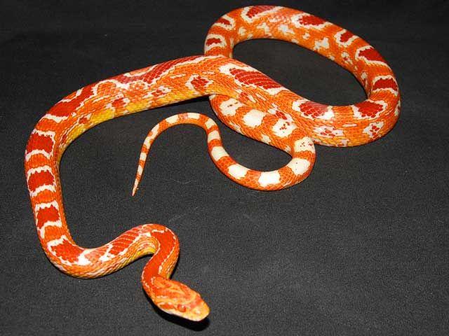 Albino Okeetee Cornsnake Corn Snake Okeetee Corn Snake Reptiles Pet