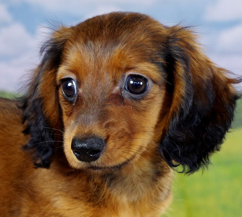 Long Haired Miniature Dachshund Girl Born 3 26 2014 Color Wild
